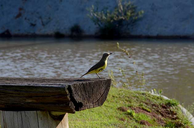 pássaro no Mavsa
